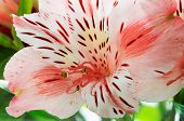 Alstroemeria Flower Close-up, Focus On Stamens