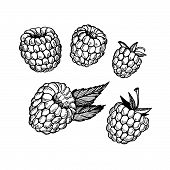 Hand-drawn Vector Illustration. Collection Of Raspberry. Line Art. Isolated On White Background.