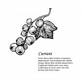 Hand-drawn Vector Illustration. Card Or Banner With Black Currant. Isolated On White Background.