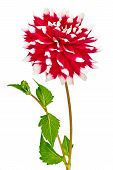 Dahlia, Red, White Colored Flower Head With Stem And Leaves