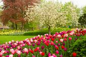spring garden with blooming tree abd tulips