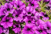 Blossoming Purple Petunia Flowers On Green Background