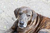 Close Up Thai Dog,brown Dog