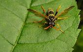 A Figwort Sawfly