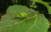 A Speckled Bush-cricket