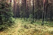Pathway In Pine Tree Forest, Karelia, Russia