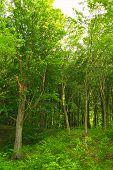 Hornbeam Forest Trees Green Scenery