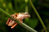 picture of dart frog  - tree frog rain forest south america dart frog - JPG