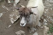 image of highland-cattle  - Ordinary goat which grazes in the highlands of Tibet - JPG