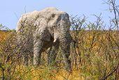 Isolated Bull Elephant in Etosha