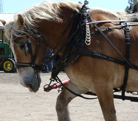 picture of workhorses  - workhorse Clydesdale pulling wagon farm rural agriculture - JPG