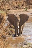 African Elephant  On The Banks Of Uaso Nyiro River Kenya