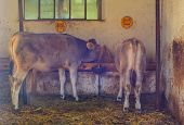 picture of calves  - Two calf in the barn eating hay - JPG