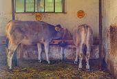 stock photo of calf  - Two calf in the barn eating hay - JPG
