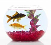 pic of fishbowl  - orange and black goldfish in fishbowl isolated on white - JPG