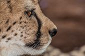pic of cheetah  - An up close view of the face of a cheetah from the side - JPG