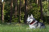 foto of husky  - Siberian Husky lies in the shade - JPG