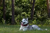 picture of husky  - Siberian Husky lies in the shade - JPG