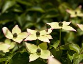 stock photo of dogwood  - Flowers of Cornus kousa - JPG
