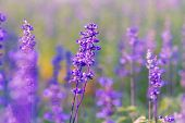 image of salvia  - Beautiful flower background with Salvia farinacea Benth soft focus - JPG