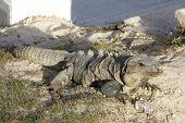 image of yucatan  - Iguana guarding its precious refreshing ice cube treat from curious tourists - JPG