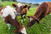picture of eat grass  - Brown cows eating grass in farm - JPG