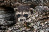 image of peeking  - Baby Raccoon  - JPG