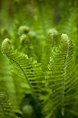 stock photo of fern  - Fern growing in a garden in Spring - JPG