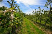 foto of orchard  - Fruit trees in an orchard in spring - JPG