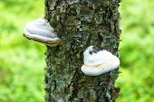 picture of veld  - tinder fungus on tree in nature landscape  - JPG