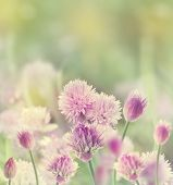pic of chive  - Chives  - JPG