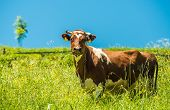 pic of cow  - Cow and the Summer Meadow - JPG