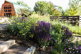 foto of catnip  - Early summer in urban green vegetable garden - JPG