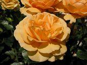 Peculiar Coloured Rose