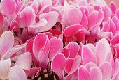 Flower Cyclamen  Pink En Masse