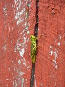 Grasshopper On Red Barn Wood