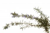 Rosemary twigs with blossoms on