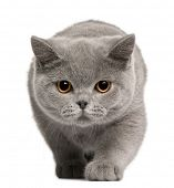 British Shorthair kitten, 4 months old, in front of white background
