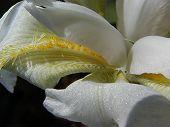 White Iris Macro