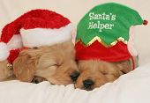 stock photo of golden retriever puppy  - adorable golden retriever puppies sleeping one with santa hat the other with santa - JPG