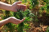 A Man Showing A Cannabis Plant (cannabis Sativa) Growing In A Field In Lebanon. Lebanon Is One Of Th poster
