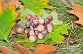 Red oak acorns in the park early in the fall. Dendropark