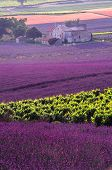 picture of lavender field  - landscape of hill in provence with field of lavender before the harvest - JPG