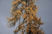 Larch. Gmelina The larch. Daurian larch. Dendropark