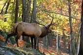 Elk (Cervus Canadensis) In Autumn
