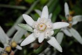 stock photo of edelweiss  - beautiful fresh edelweiss bloom in spring great view - JPG