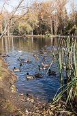 View To Urban Autumn Park With Wild Ducks And Drakes On Pond On Sunny Morning. poster