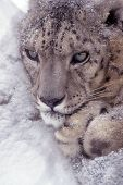 picture of panthera uncia  - Portrait of a snow leopard curled up in a snow drift in a zoo - JPG
