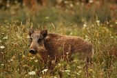 image of farrow  - young wild pig standing in the grass - JPG