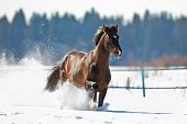 Bay horse running in winter